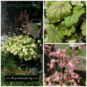 Heuchera Circus in my garden, Coral Bells