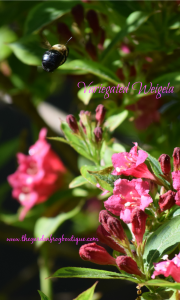 Variegated Weigela in My Garden
