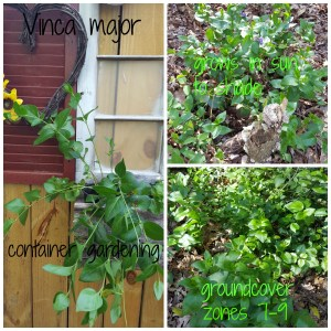 Vinca major in the garden, invasive groundcover zone 7-9, large periwinkle, container gardening spiller