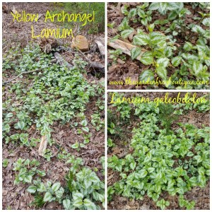 Yellow Archangel Lamium (Lamium galeobdolon) groundcover for the shade
