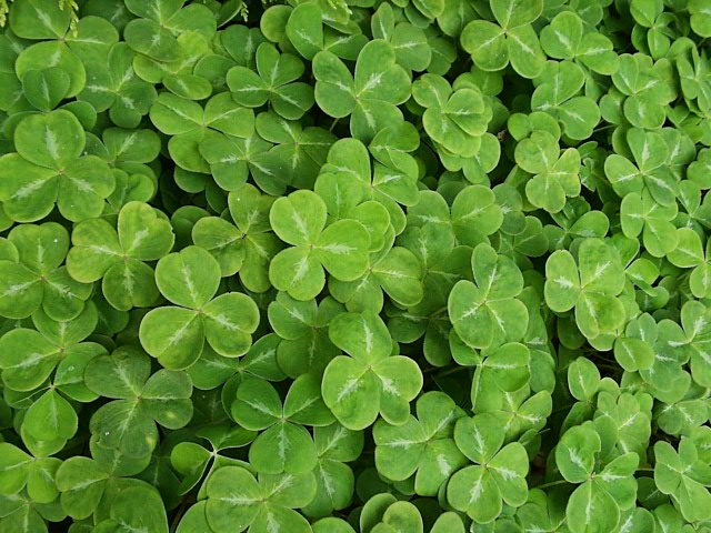https://i1.wp.com/www.thegardenhelper.com/pixpg/graphics/shamrock.JPG