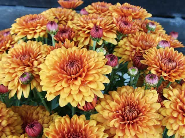 Chrysanthemums  How to Grow and Care for Chrysanthemum Plants         Golden Orange Chrysanthemum Flowers