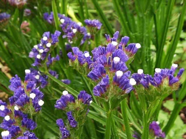 Statice  How to Plant  Grow and Dry Statice Flowers   Garden Helper     Purple Flowering Statice Plant in the Garden  Limonium sinuatum