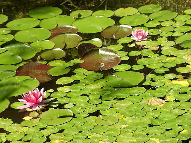 Pond Lilies Maintenance