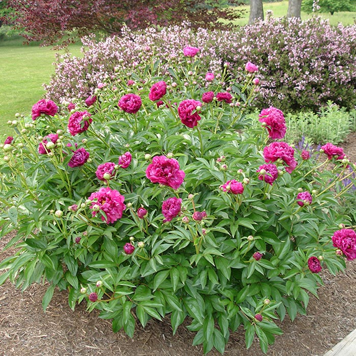Buy Potted Tree Peony Plants At Low Online Prices In Ireland