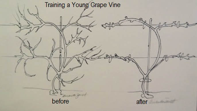 Pruning Grapes In Winter THE GARDEN