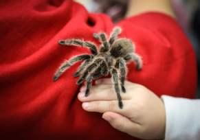 Rosy the tarantula