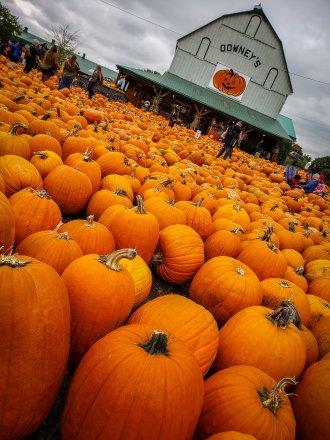 Downey's Farm | Pumpkin Patch