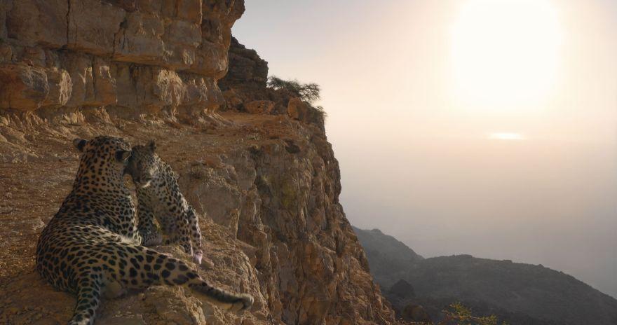 Arabian leopards