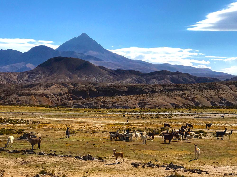 Bolivia Llamas