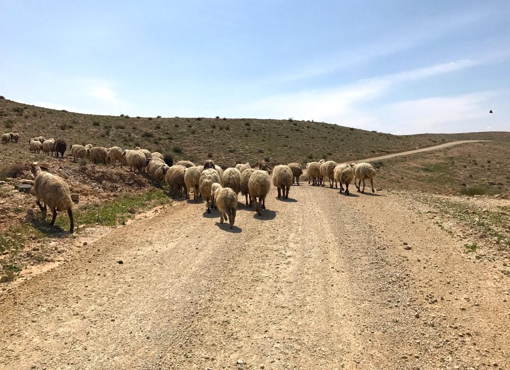 sheep Jordan