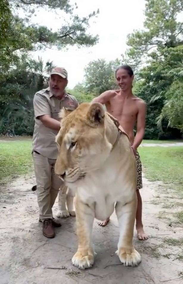 Check Out The World's Biggest Hercules Cat Pairing Lion Father And Tiger Mother
