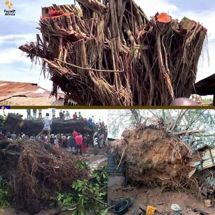 Watch As Oyo Fallen Tree Mysteriously Re-Erected Self Within 24-Hours [VIDEOS]