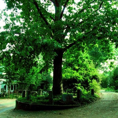 Hidden Treasures: Athens is home to The Tree That Owns Itself