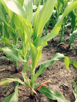 corn's a growin'