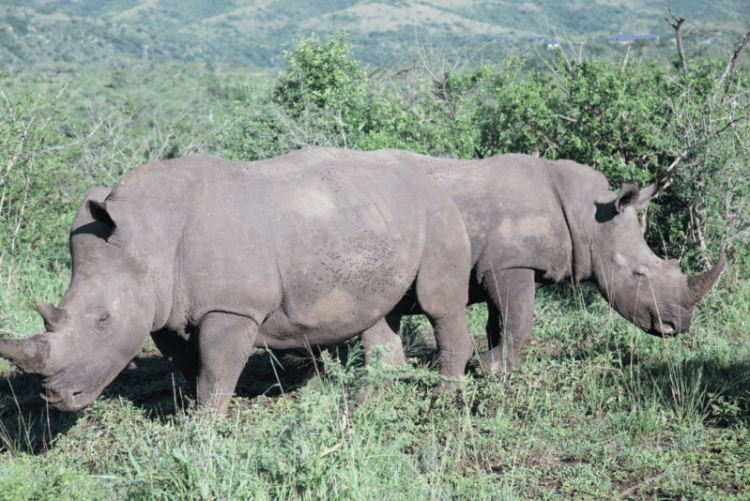 SOUTH AFRICA : Rhino family mooching and grazing in Hluhluwe-Imfolozi Park
