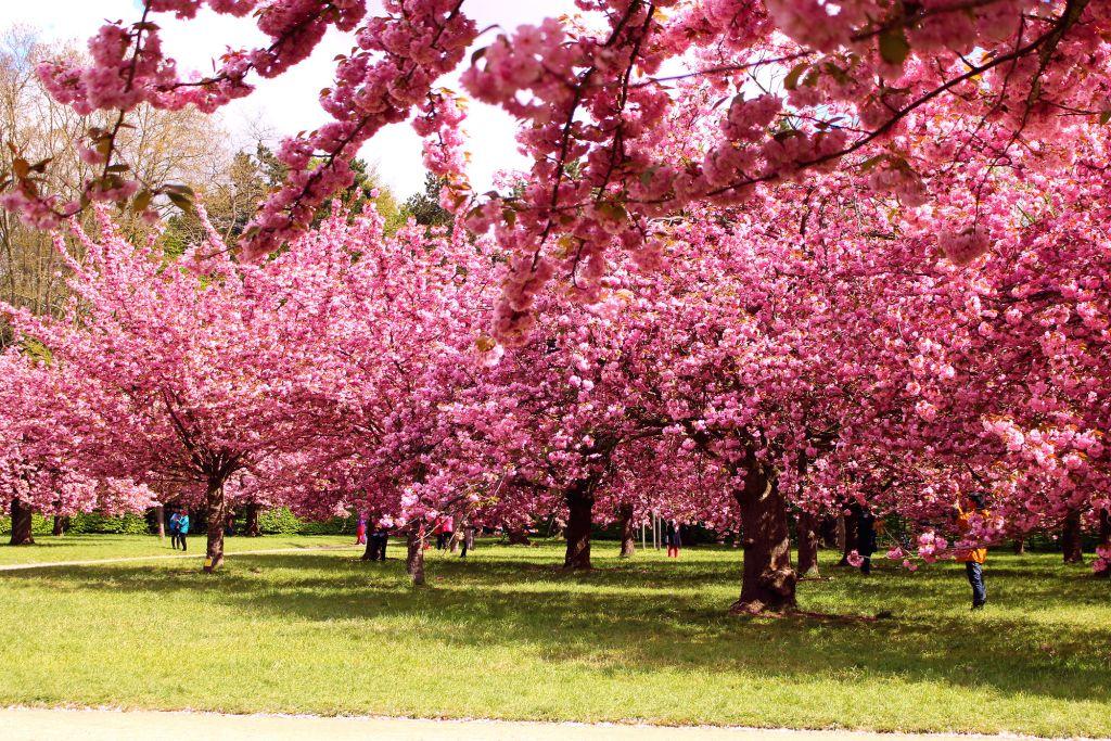 Cherry blossom Paris- Parc de Sceaux| The Glittering Unknown