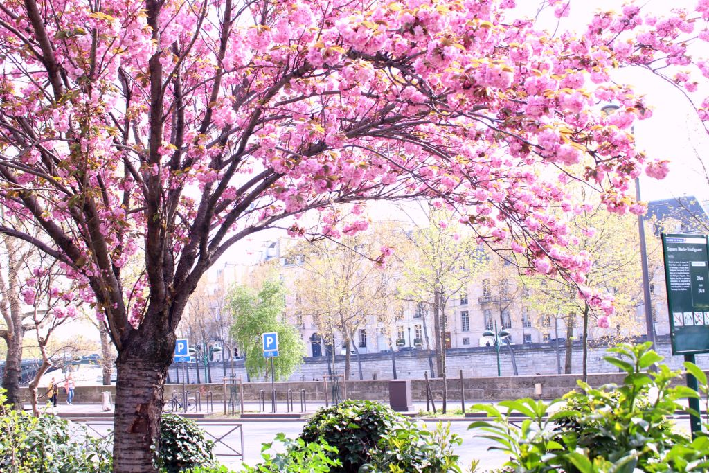 Cherry blossom Paris- Square Marie Trintignant| The Glittering Unknown
