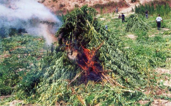 Albanian police crack down on cannabis, destroy 1.7 ...