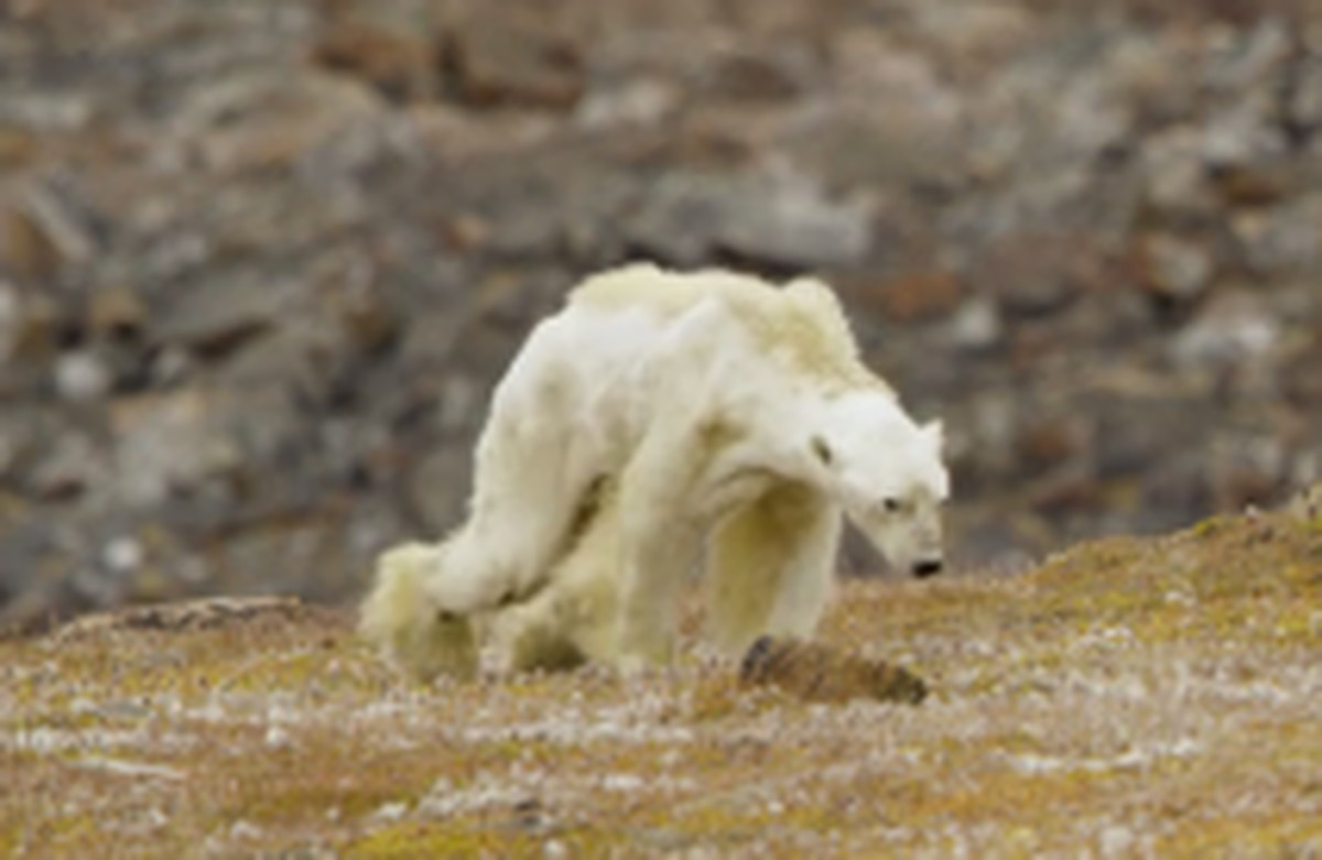 Canadian Photographer S Video Of Emaciated Polar Bear On