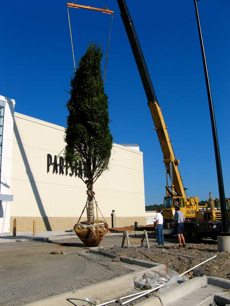 Installation of Pleasant Ridge trees