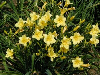 Daylily Love The Good Stuff Guide