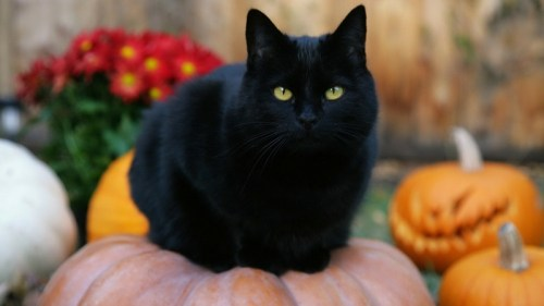 Myths and Superstitions: Halloween and Black Cats | THE GREAT CAT