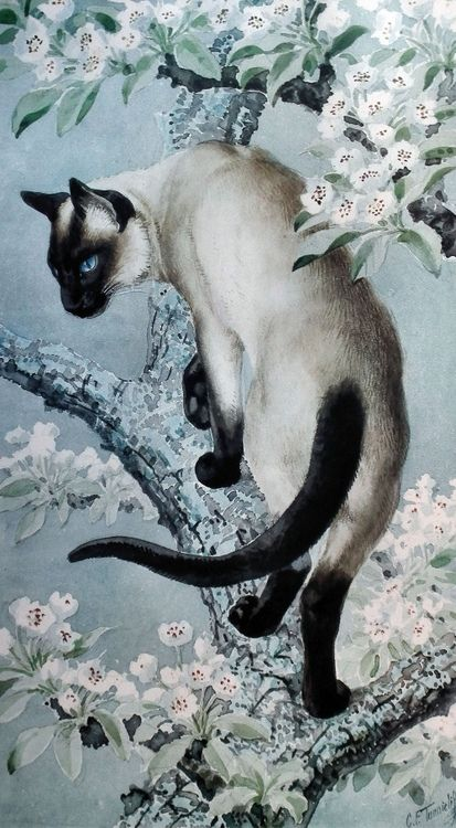 Siamese cat on a branch, by Charles Frederick Tunnicliffe