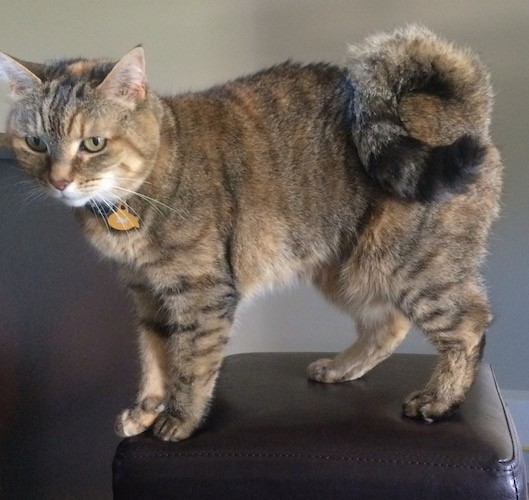 American Ringtail Cat Breed