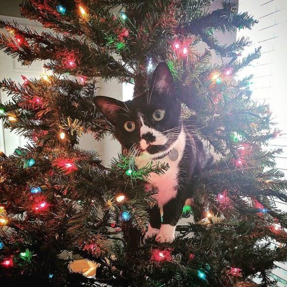 Tuxedo Cat sitting in tree
