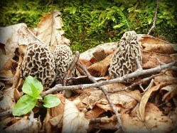 Fresh cluster of morels
