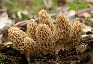 Patch of yellows morels