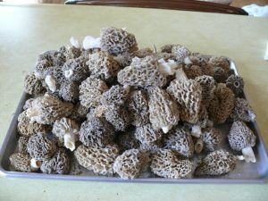 Tray of Morels