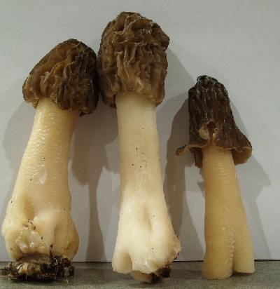 Verpa False Morel