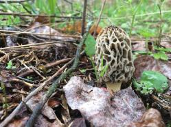 Tennessee morel