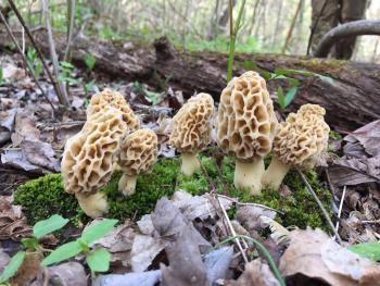 Morel Magic