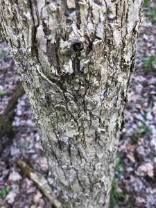 Young Elm Closeup