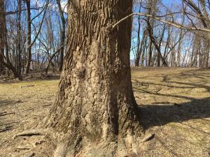 Tulip Tree Bark - Photo Courtesy of Elijah Whitcomb - NTS
