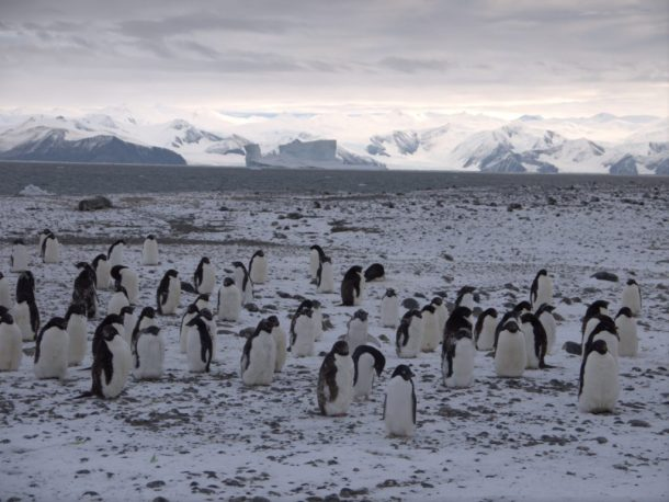 Infinity Expedition - Adelie penguins, who couldn't have cared less about humans