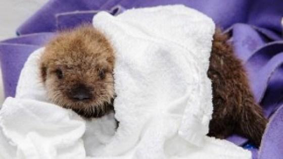 lontra-marinha-orfa-resgatada-EUA-veja-fotos-5