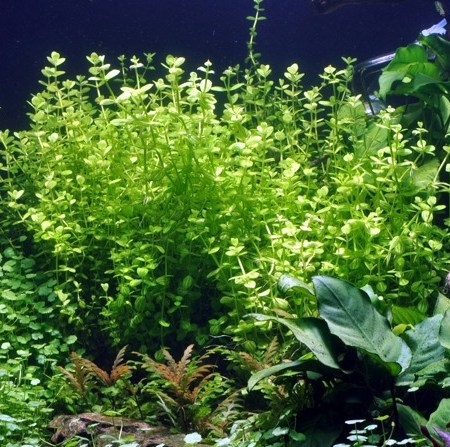 Image of Lindernia rotundifolia - buy Nature Aquarium Plants online