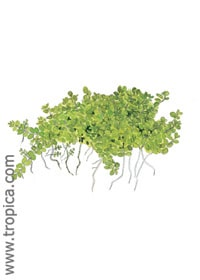 Hemianthus callitrichoides 'Cuba'. Buy tropical aquarium plants online.