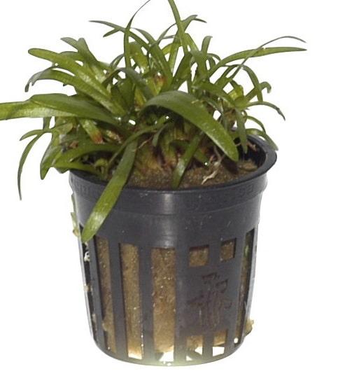 Sagittaria subulata tropical aquatic aquarium plant photograph