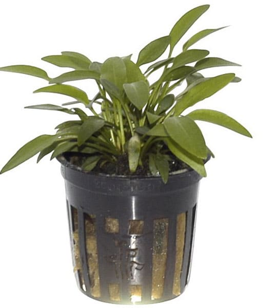 Image of Cryptocoryne x willisii buy tropical aquarium plants online