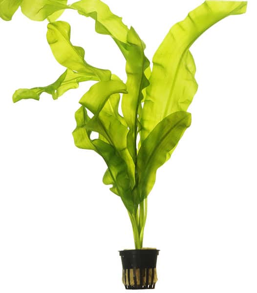 Aponogeton ulvaceus - buy tropical aquarium plants online