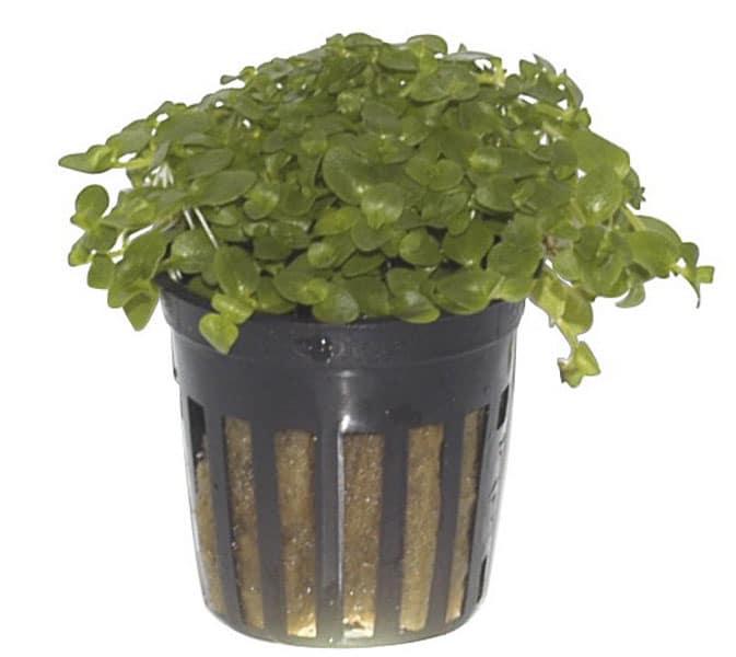 Bacopa australis. Buy tropical aquarium plants at The Green Machine.