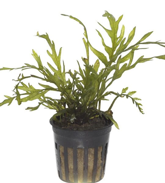 Image of Bolbitis heudelotii - buy tropical aquarium plants online