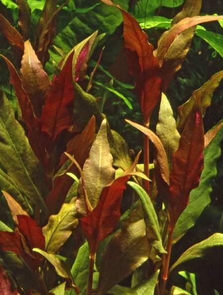 Alternanthera reineckii 'roseafolia' ('Pink') XL - buy tropical aquatic plants o