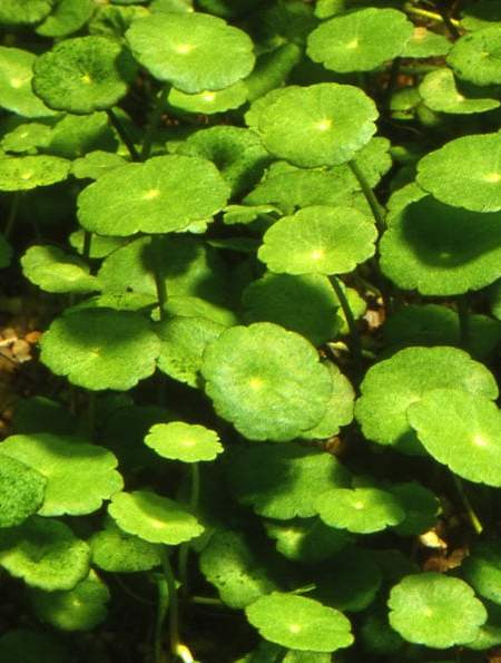 Hydrocotyle verticillata - buy Nature Aquarium Plants