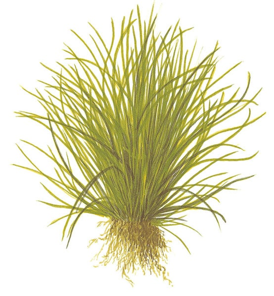 Image of Lilaeopsis mauritiana - buy Nature Aquarium Plants